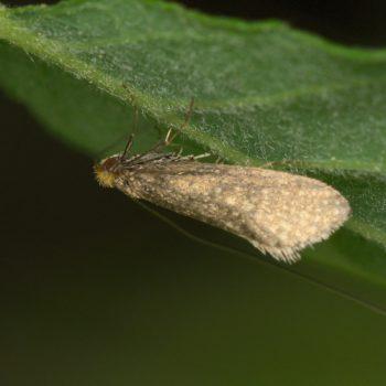 Nematopogon sp. (Langhornmotte)