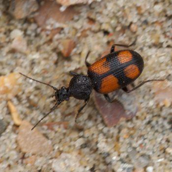Panagaeus bipustulatus (Zweifleck-Kreuzläufer)