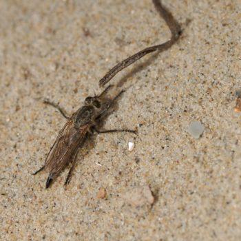 Philonicus albiceps (Sand-Raubfliege)