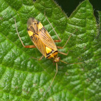 Rhabdomiris striatellus (Eichen-Schmuckwanze)
