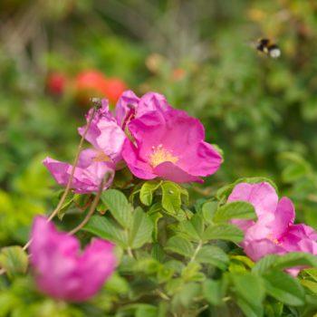 Rosa rugosa (Kartoffel-Rose)
