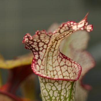 Sarracenia leucophylla (Weiße Schlauchpflanze)