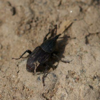 Sphenophorus striatopunctatus (Lieschgrasrüssler)