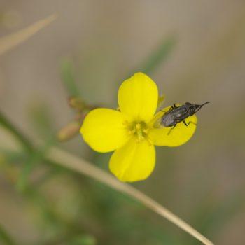 Stomorhina lunata (Schmeißfliege)