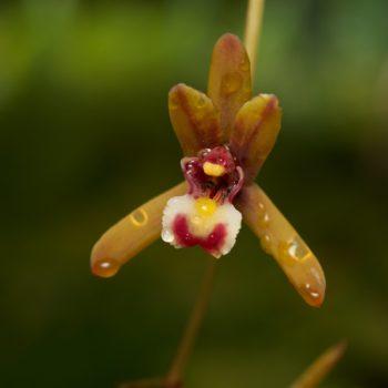 Tapinoma sessile (Wohlriechende Hausameise)