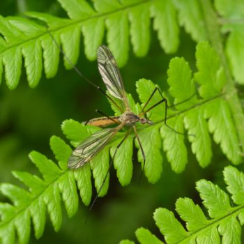 Tipula vernalis (Frühlingsschnake)