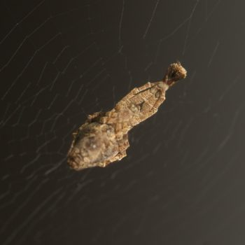 Uloborus plumipes (Gewächshaus-Federfuß)