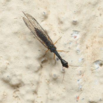 Venustoraphidia nigricollis (Schwarzhals-Kamelhalsfliege)