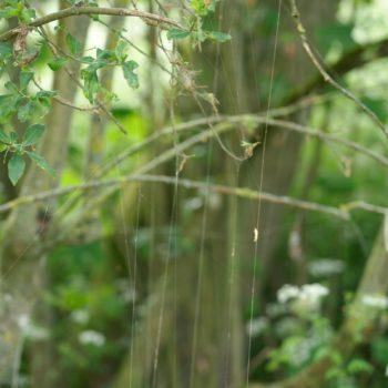 Yponomeuta cagnagella (Pfaffenhütchen-Gespinstmotte)
