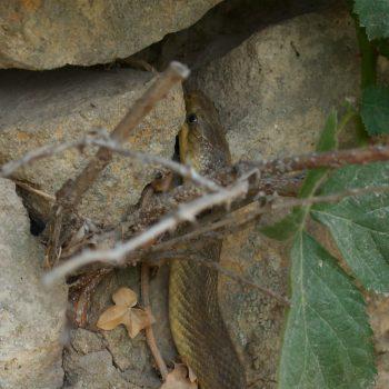 Zamenis longissimus (Äskulapnatter)