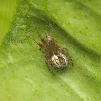 Zygiella x-notata (Gewöhnliche Sektorspinne)