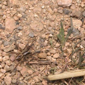 Alopecosa cuneata (Keilfleck-Scheintarantel)