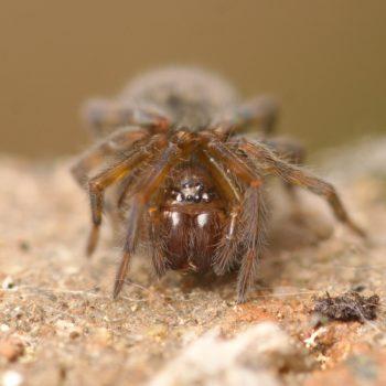 Amaurobius ferox (Kellerfinsterspinne)