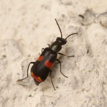 Anthocomus fasciatus (Gebänderter Warzenkäfer)
