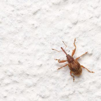 Anthonomus rectirostris (Kirschkernstecher)