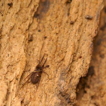 Apostenus fuscus (Brauner Laubstreuner)