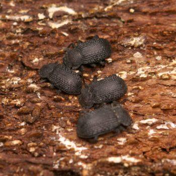 Bolitophagus reticulatus (Kerbhalsiger Zunderschwamm-Schwarzkäfer)