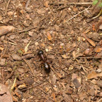 Camponotus herculeanus (Schwarze Rossameise)