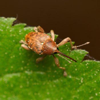 Curculio venosus (Adern-Eichelbohrer)