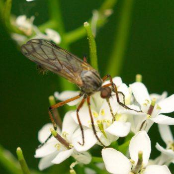 Empis maculata-Gruppe (Tanzfliege)