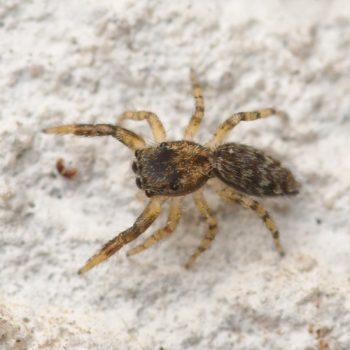 Marpissa muscosa (Rindenstreckspringer)
