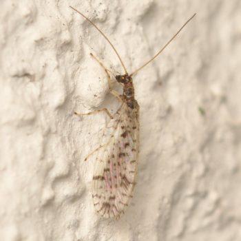 Micromus variegatus (Gefleckter Taghaft)