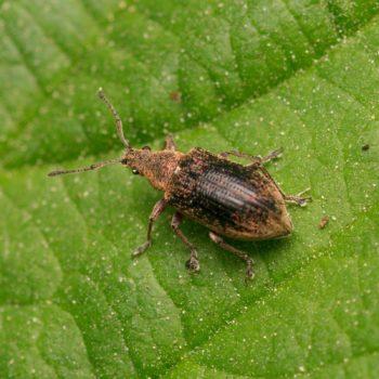 Phyllobius pyri (Birnen-Grünrüssler)