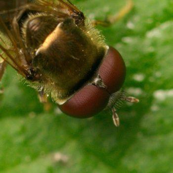 Platycheirus sp. (Breitfußschwebfliege)