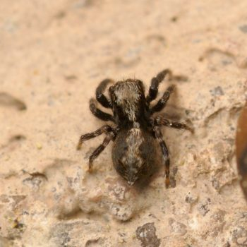 Pseudeuophrys lanigera (Haus-Keilspringer)