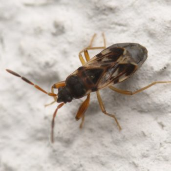 Scolopostethus affinis (Nessel-Wicht)