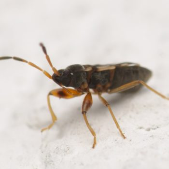 Scolopostethus affinis (Bodenwanze)