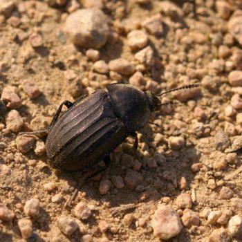 Silpha tristis (Aaskäfer)