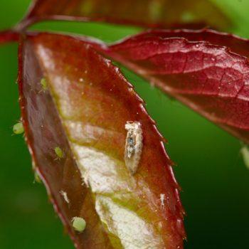 Syrphinae sp. (Schwebfliege)
