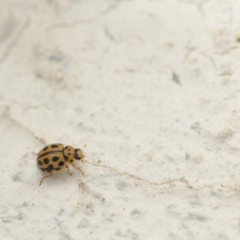 Tytthaspis sedecimpunctata (Sechzehnpunkt-Marienkäfer)