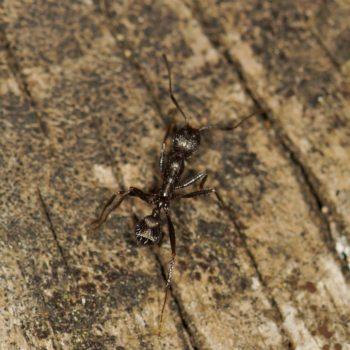 Aphaenogaster sp. (Knotenameise)