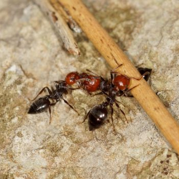 Crematogaster scutellaris (Kippleibameise)