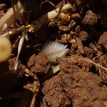 Platyarthrus dalmaticus (Ameisenassel) - Krk