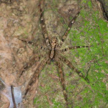 Acanthoctenus sp. (Kammspinne)