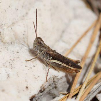 Acrididae sp. (Heuschrecke) - Krk
