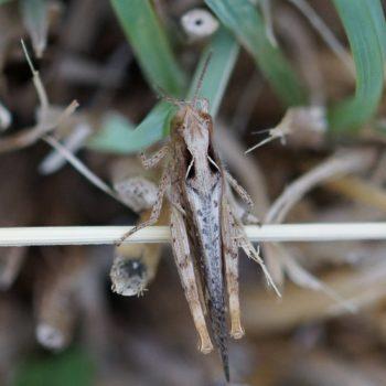 Acrididae sp. (Heuschrecke)