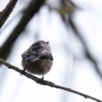 Aegithalos caudatus (Schwanzmeise)