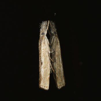 Agriphila sp. (Zünsler) - Krk