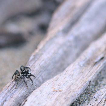 Anasaitis sp. (Springspinne)