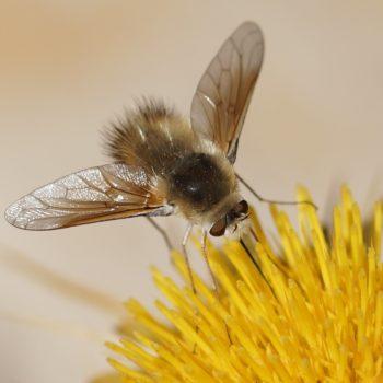Diptera (Zweiflügler) auf Krk, Kroatien (August 2018)