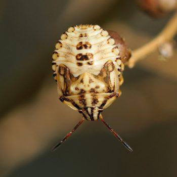 Antheminia lunulata (Baumwanze)