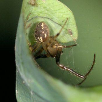 Araneus sp. (Kreuzspinne) - Costa Rica