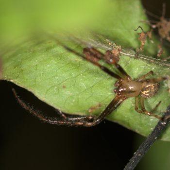 Araneus sp. (Kreuzspinne)