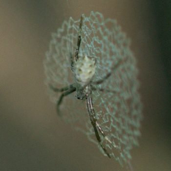 Argiope savignyi (Radnetzspinne)
