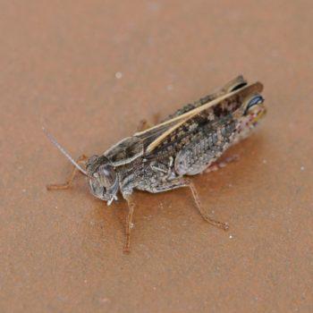 Calliptamus italicus (Italienische Schönschrecke)