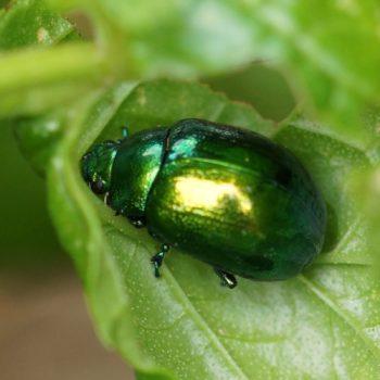 Chrysolina herbacea (Minzeblattkäfer)